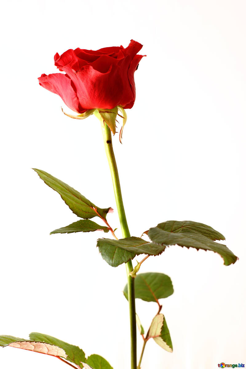 Rose for the birthday №17061
