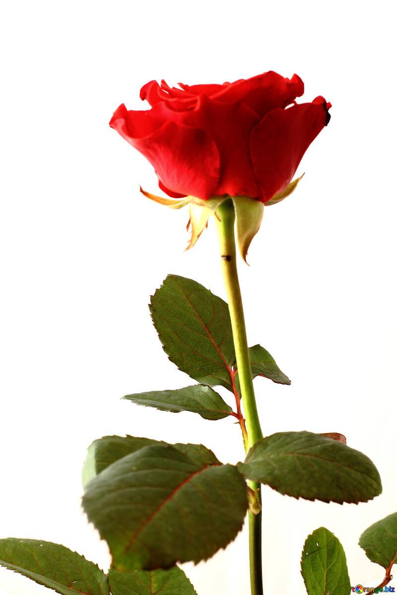 Red rose bud №17045
