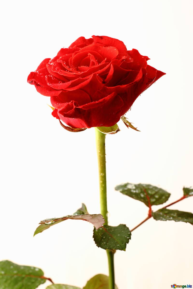 Rose with drops Isolated on white backgrounds №17037