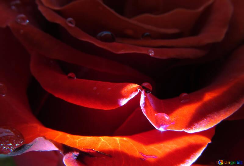 Rosenblüten mit Tropfen №17121