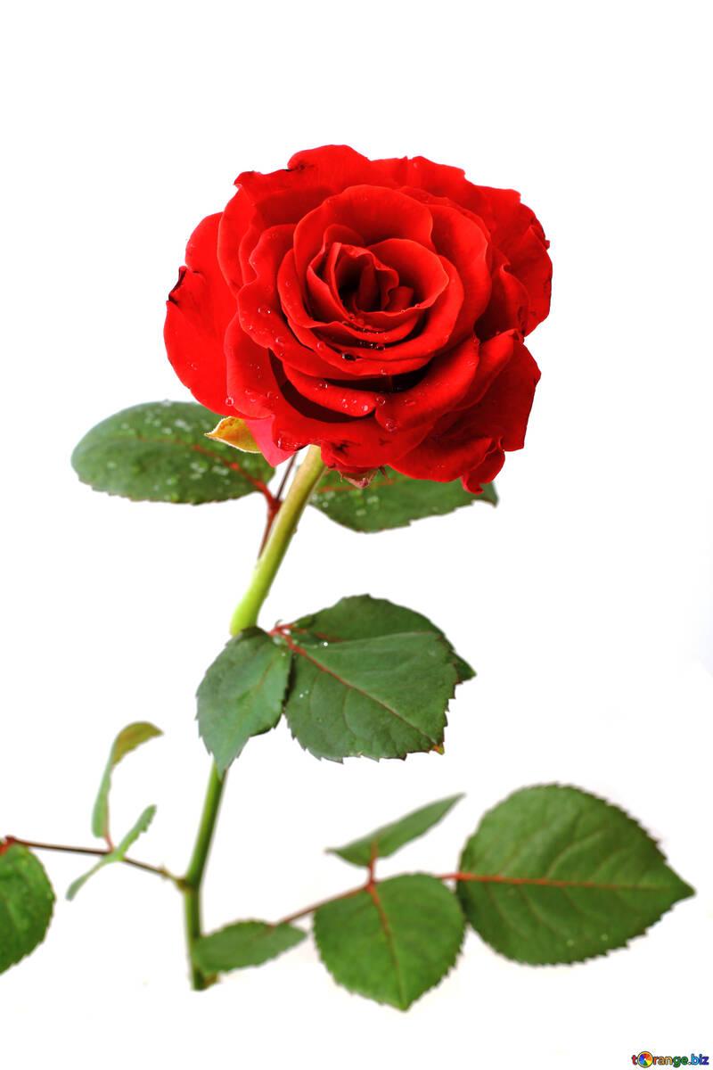 Rosa bella rossa №17031