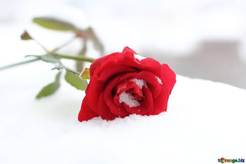 Фото розы на снегу и след человека