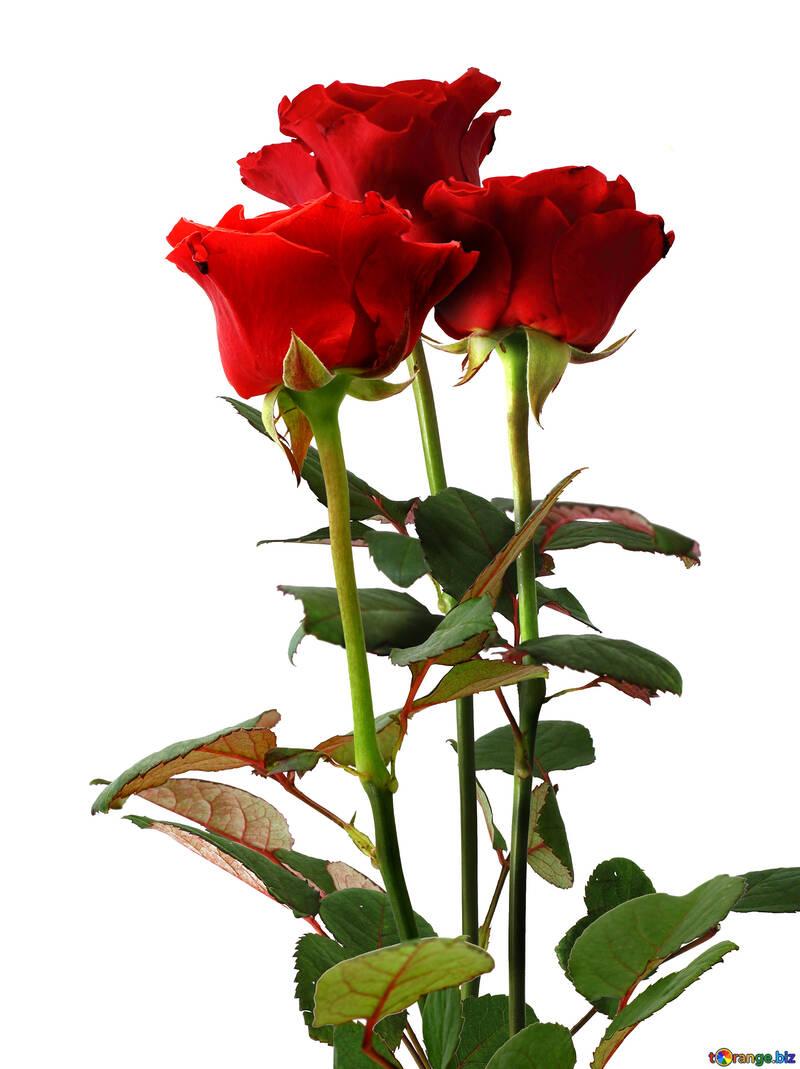 Tre rose №17076