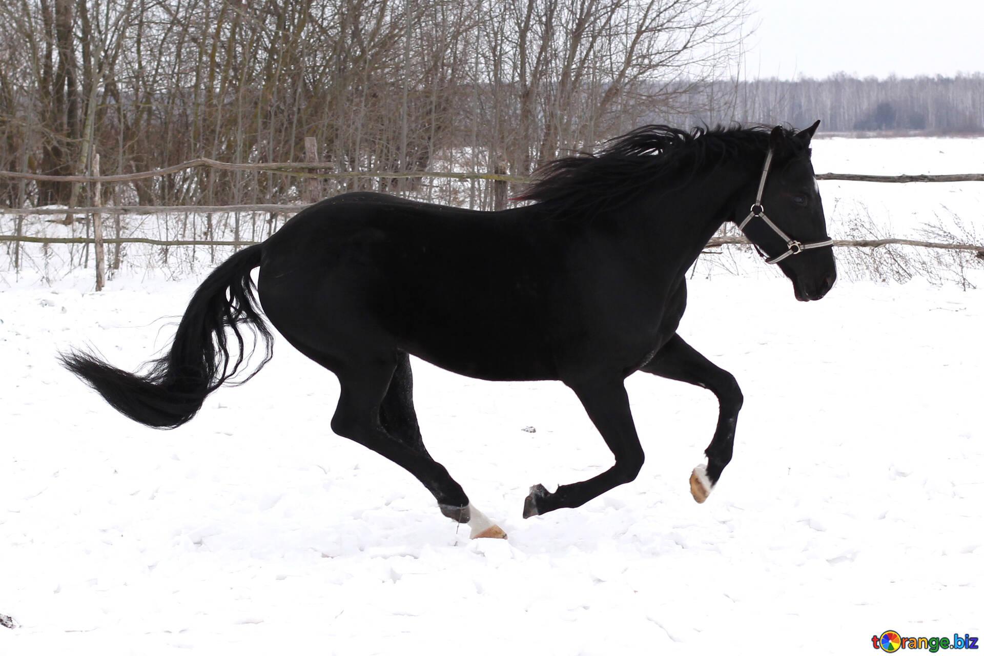 Black Horse Horse Running In Winter Snow 18192