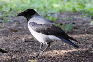 Crow №18622