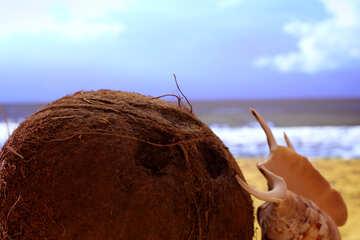 Coconut №18782
