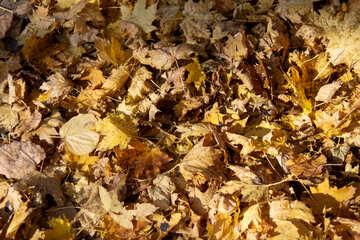 Background fallen autumn yellow leaves №18613