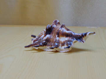 Beautiful shell №18184