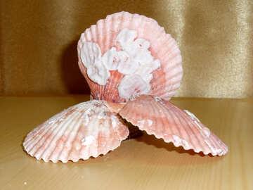 Shells №18142