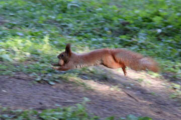 Squirrel runs with nut in his teeth №18620