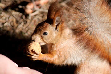 Eichhörnchen nimmt Nut von hand №18626