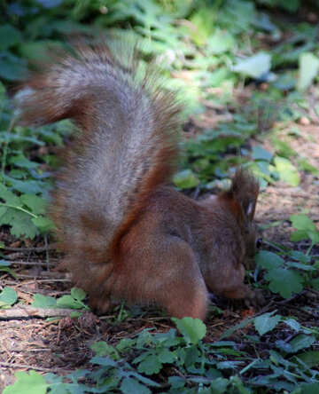 Squirrel buries nuts №18618
