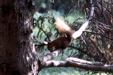 Eichhörnchen auf Baum №18624