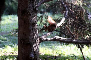 Baum mit Nut in seine Zähne Eichhörnchen №18625
