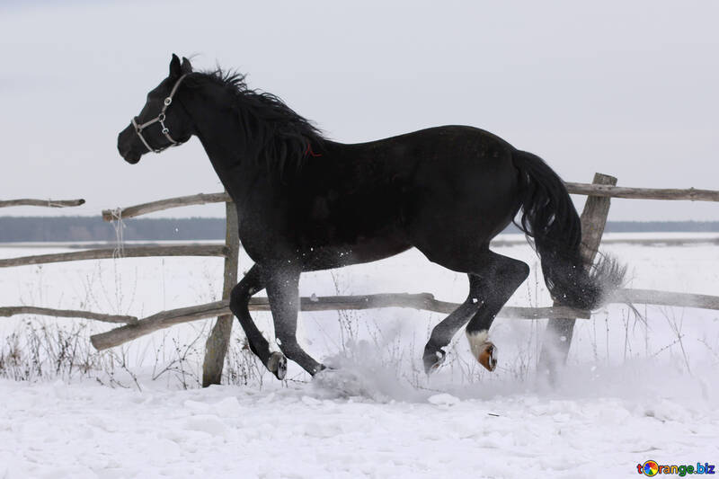 Snow from under the hoofs №18189