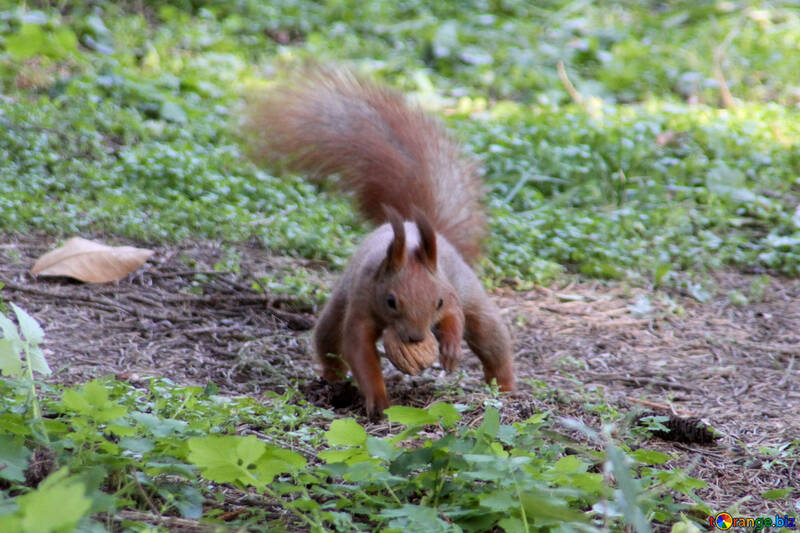 Squirrel with nut №18619