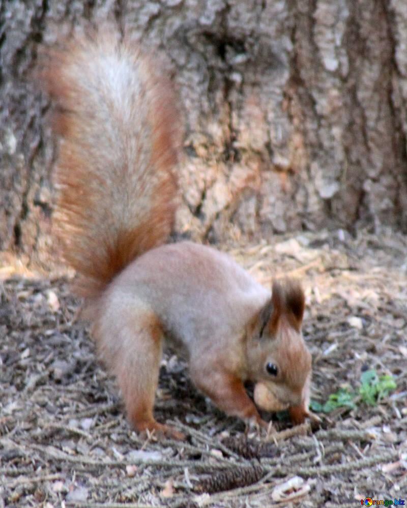 Squirrel hides nuts №18617