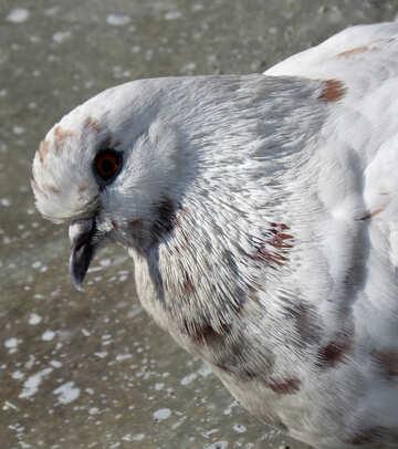 Curious pigeon №19819