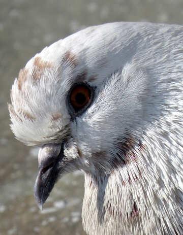 Portrait of dove №19818