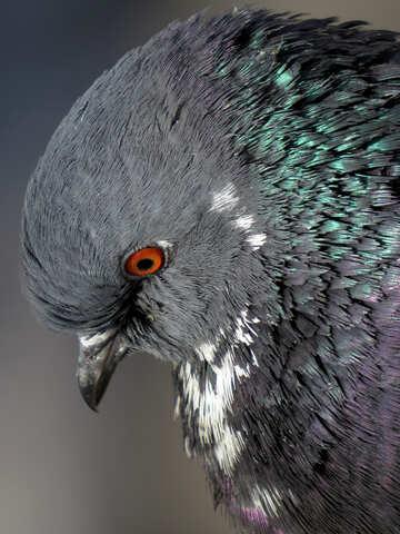 Portrait of dove №19824