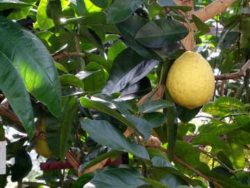 Lemon on tree №19483