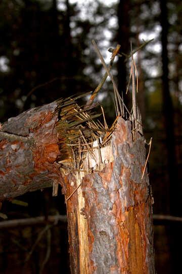 Broken tree №19069