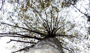 High birch №19054