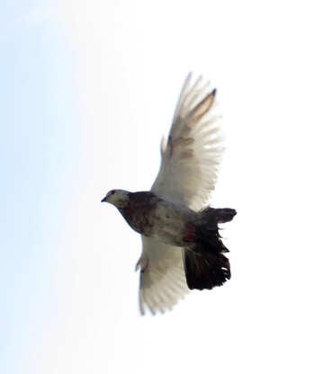Dove in flight №19827