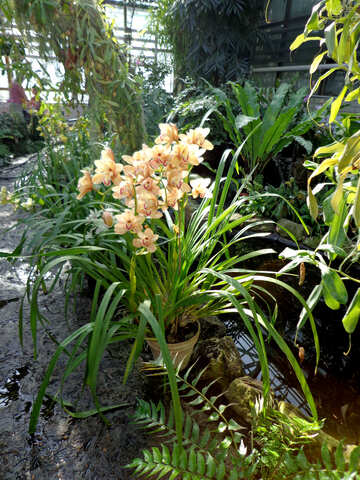 Blooming orchid in the winter garden №19523