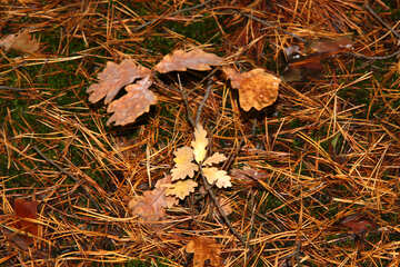 Small oak №19072