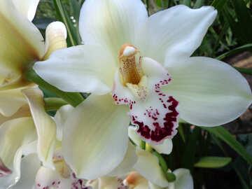 Orchidea №19533
