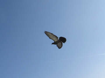 Flying birds №19809