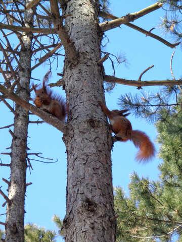Eichhörnchen Spiel Baum №19456