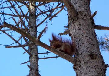 Eichhörnchen auf Zweig №19455
