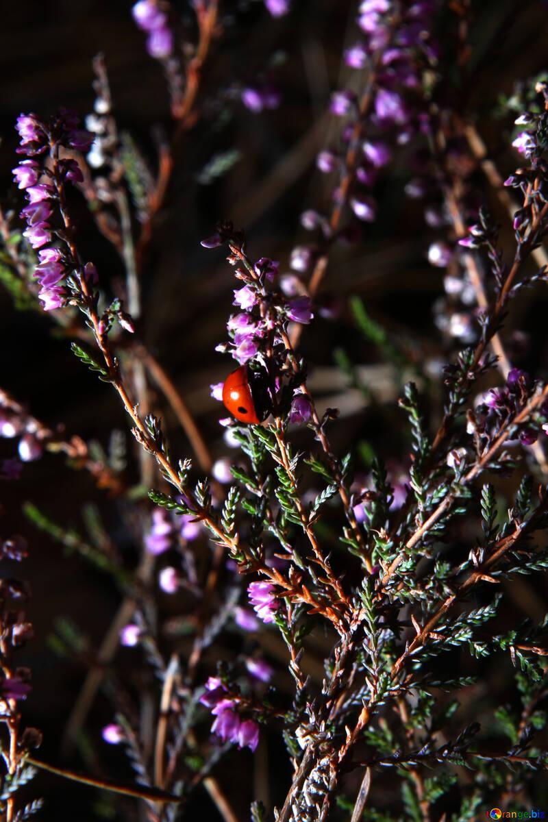 Ladybug on the heather №19111