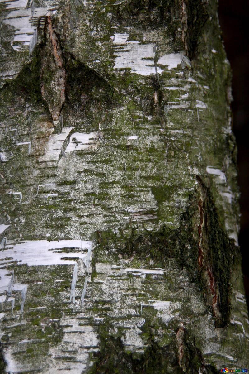 Текстура лесная береза №19055