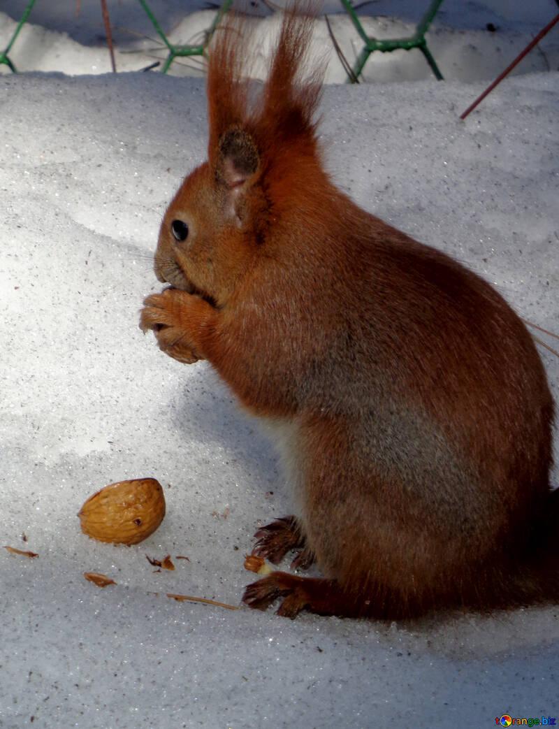 Eichhörnchen frisst Nut im Schnee №19465