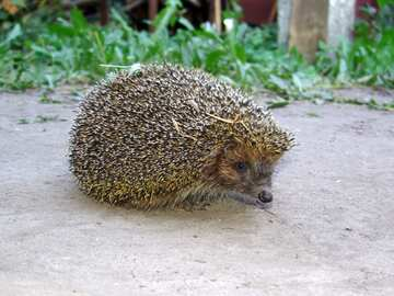 Hedgehog №2474