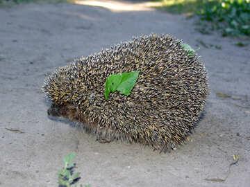 Hedgehog with green leaf №2031