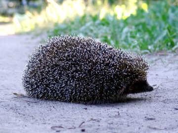 Hedgehog on trpinke №2030
