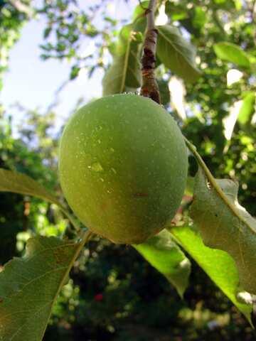 Green apple on branch №2413