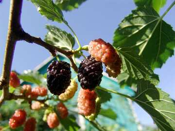 Mulberry berries №2448