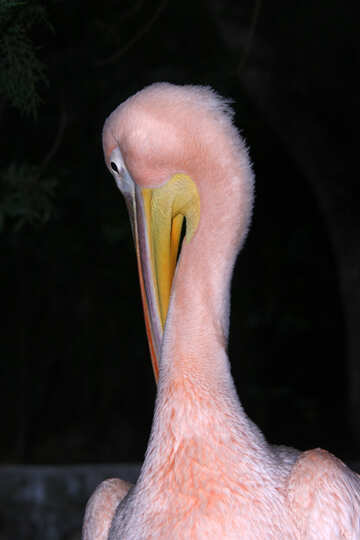 Pelican stretching his neck  №2903