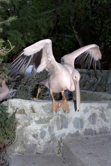 Pelican waving wings  №2854