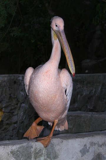 Pelican. Zoo Yalta  №2905