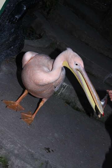 Pink  pelican №2927