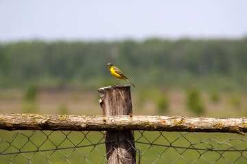Yellow bird on wooden fence №2461