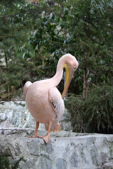 white pelican white pelican  №2897