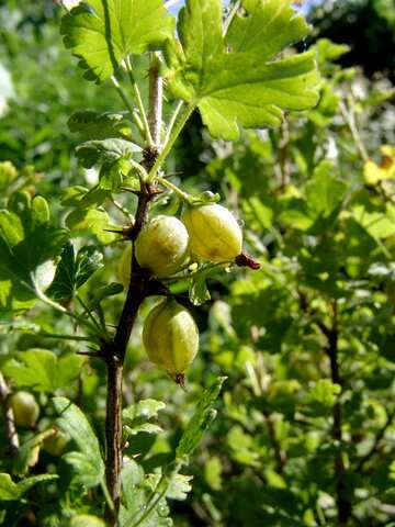 Gooseberries on branch close №2425