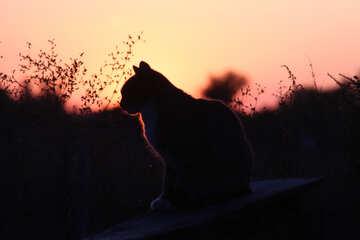 A silhouette of cat cat cat silhouette  №2875